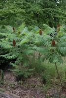 Sumac trees