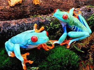 Sky Blue Frog