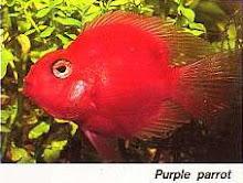 Fresh Water Aquarium: Parrot Fish