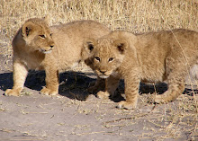 Lion cubs in Africa