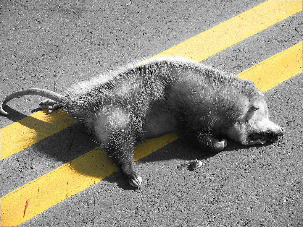 http://3.bp.blogspot.com/_iLmaJMhity8/S62NN7Pgi6I/AAAAAAAAAE4/Ug4LiRdxFTY/s1600/dead-opossum.jpg