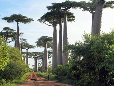 Baobab Tree or Upside-Down Tree