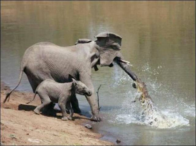 ... attacked the adult elephant, which tried to protect the baby elephant.
