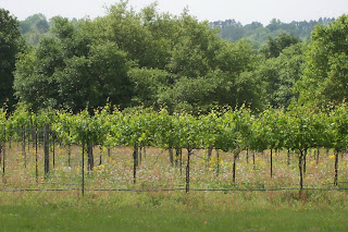 Grape vines will soon produce the wine for Communion.