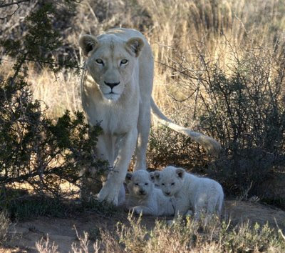 wallpaper white lion. pictures white lion cubs