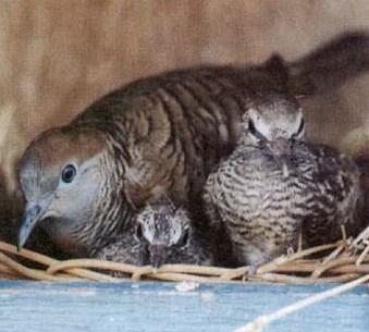 Udin Perkutut Demak: koleksi burung