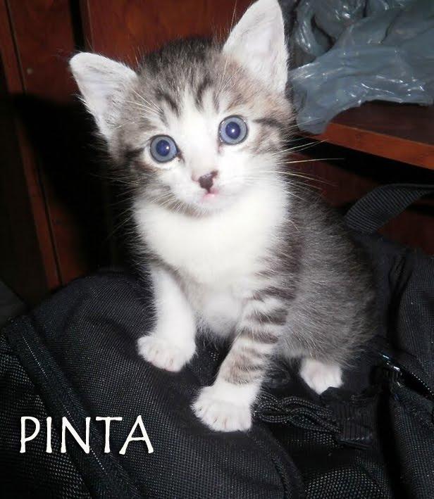 Animais para Adoção - SP: Gatinhos bebês lindos para adoção ...