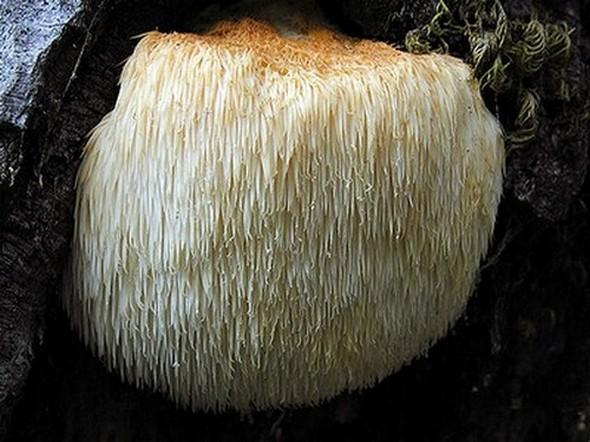 Bears head tooth mushroom