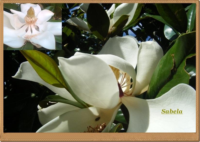 Un rinc n para el atardecer cuidado - Cuidados del magnolio ...