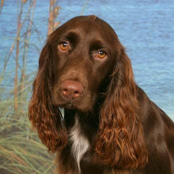 Field Spaniel Dog Picture Gallery | Dog Lovers Pictures
