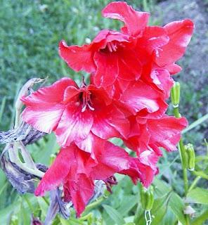 El Mundo De Las Flores Flores Gladiolos