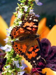 Autumn Vanessa May 2006