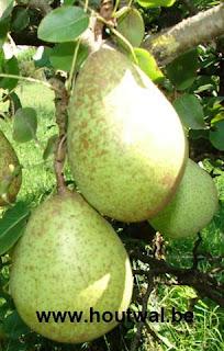 plant ganzerik citroen eigenschappen