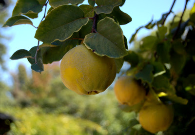 Photo of three quinces growing on tree in my neighbors' yard