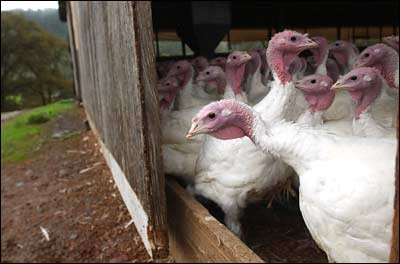 Willie Bird Farms turkeys, photo by Justin Sullivan, Getty Images