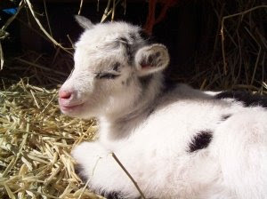 Photo of baby goat Eyore courtesy of Ghost Town Farm blog by Novella Carpenter