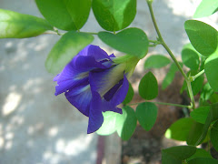 Butterfly-pea