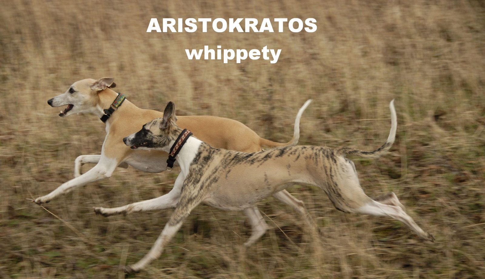 Whippety Aristokratos