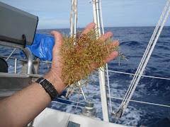 R.D. a Bermuda 3 Detalle de sargazos