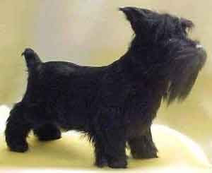 Scottish Terrier Puppies Review