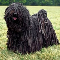 Puli Dog Puppies