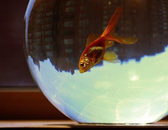 gold fish city martin eden золотая рыбка город мартин иден