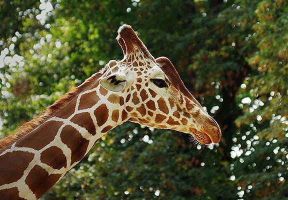 жираф борода girafe beard