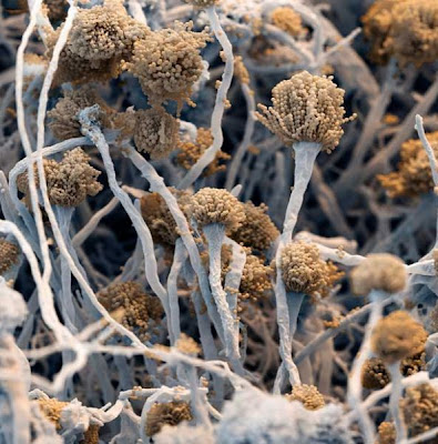 fungus Aspergillus fumigatus