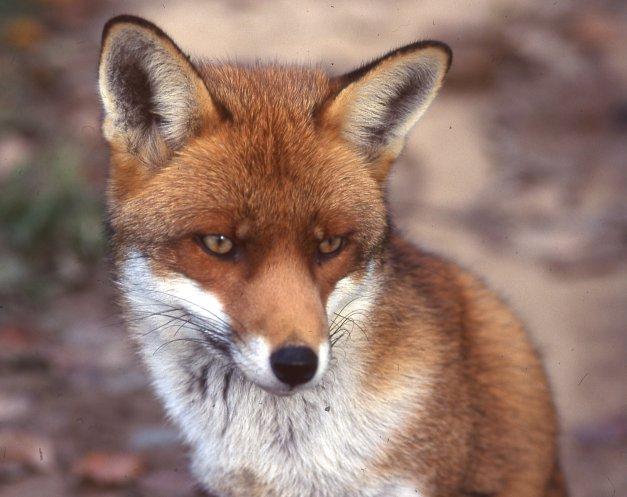 Cahier de classe le renard - Coloriage renard a imprimer gratuit ...