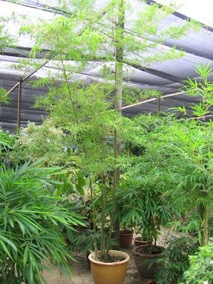 Отглеждане ня декоративен Бамбук