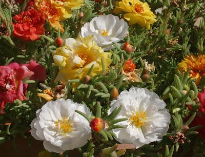 Калдъръмче / Portulaca grandiflora