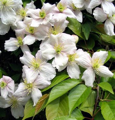 Грижа за цвеята - Клематис / Clematis