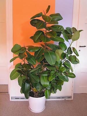 Грижа за растенията - Фикус / Ficus