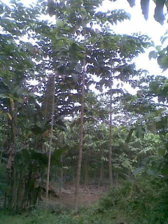 Riap tumbuh pohon jabon 8 Bulan