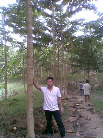 Riap tumbuh pohon jabon 1 tahunan