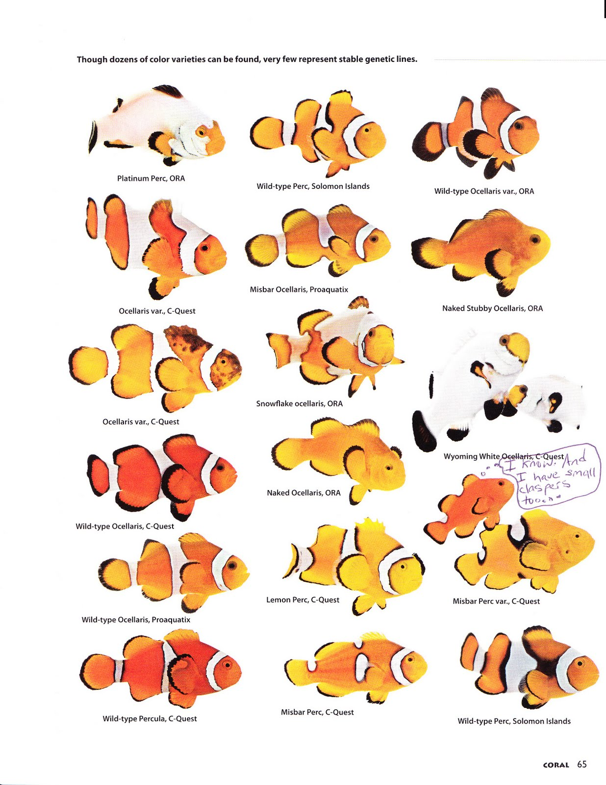 Trials and tribulations of a reef aquarium napoleon for Clown fish life cycle