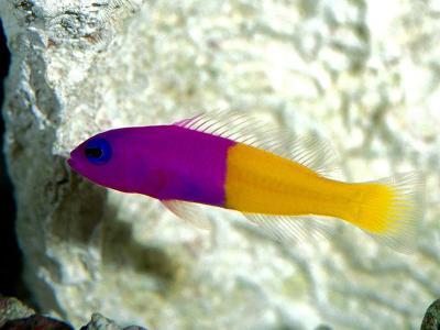 Trials and Tribulations of a Reef Aquarium: Royal Gramma!