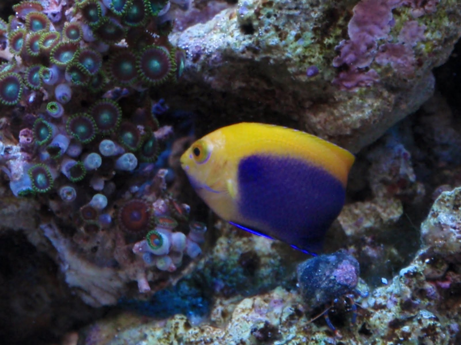 ... flameback a dwarf angelfish most angelfish are not suitable for reef