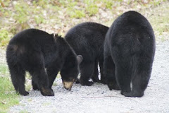 Bear Butts