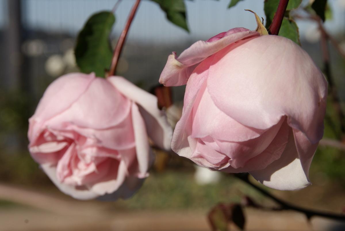 Organic Garden Dreams January Roses