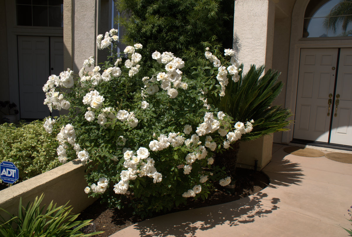 Organic Garden Dreams Rose Of The Month Iceberg