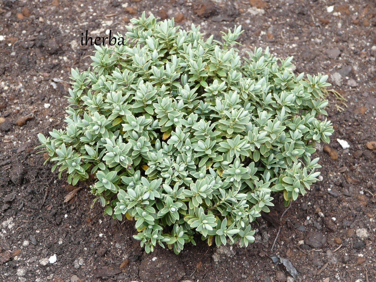 El mundo de las plantas de iherba los hebes for Hebe arbusto