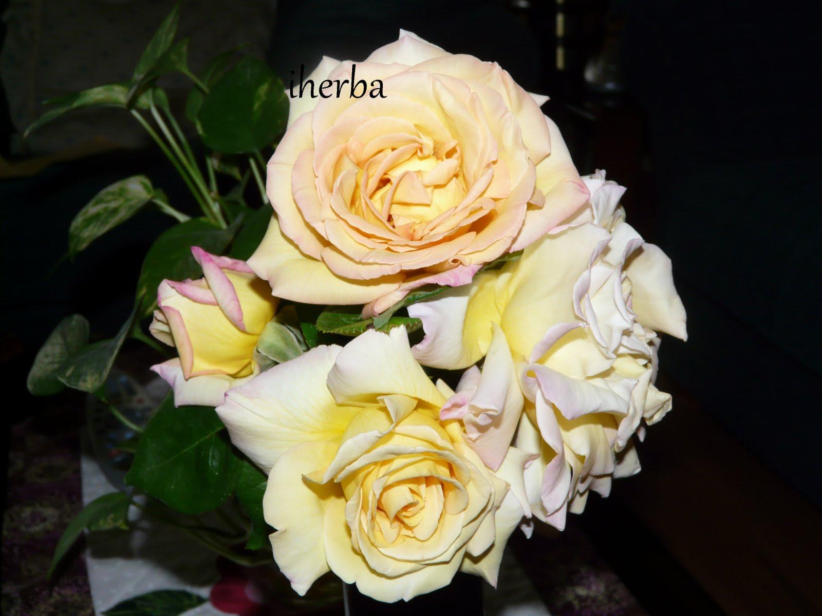 El mundo de las plantas de iherba significado de las flores y plantas rosas - Significado rosas amarillas ...