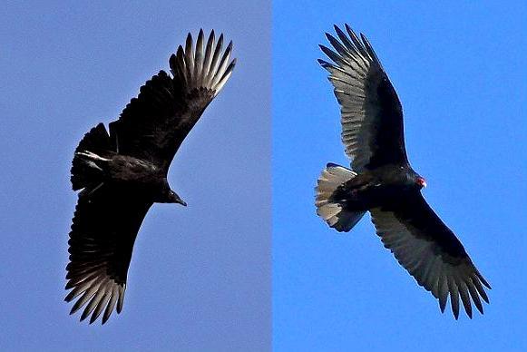 vulture+comparison.JPG