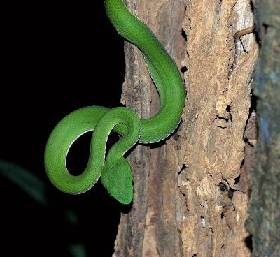 bamboo viper snake - group picture, image by tag - keyw