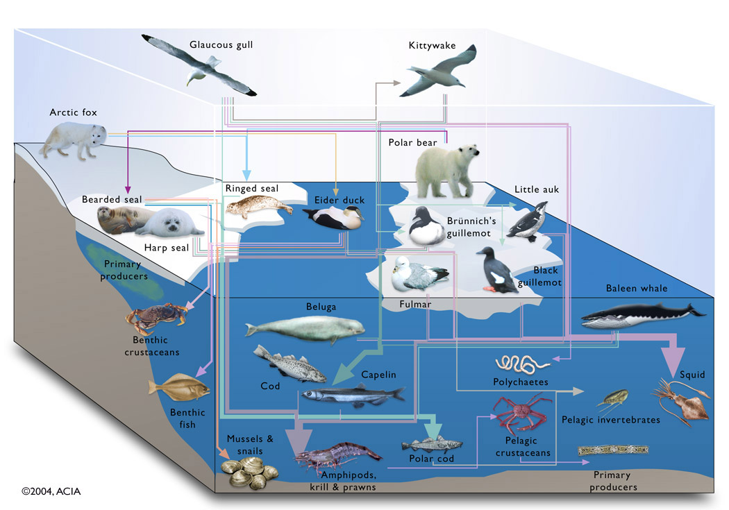 This example of a marine food web in Alaska illustrates the relationships