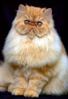 Yanacatlovers Macam Macam Warna Bulu Pada Kucing Persia