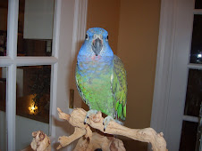 Callie the Blue headed Pionus