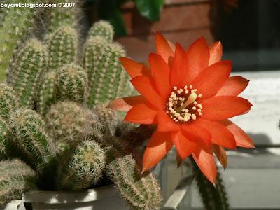 floare de cactus rosu wallpepaer 1024x768
