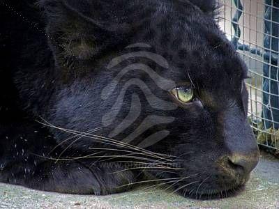 Black Cat Bandari
